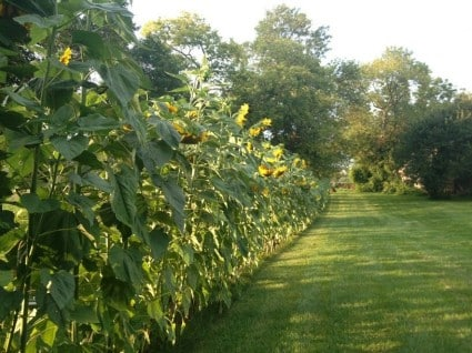 backyard privacy fence with a row of sunflowers planted