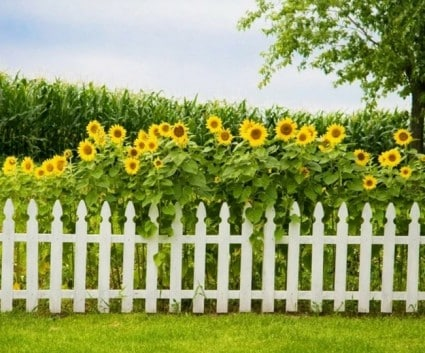 sunflowers planted behind a privacy fence