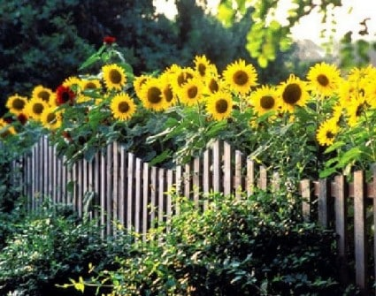 picket fence with sunflowers extending overtop