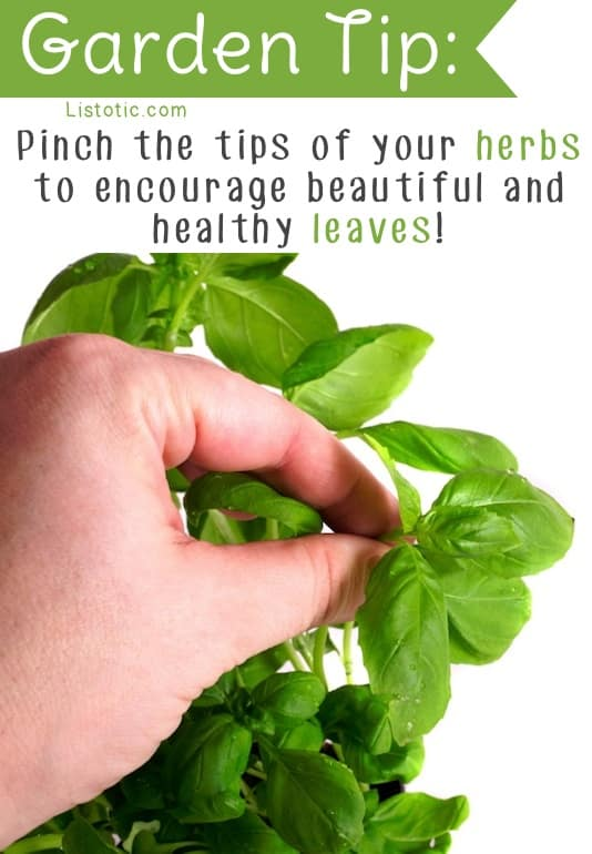 How to grow big healthy basil and hers -- Easy DIY gardening tips and ideas for beginners and beyond! Tips and tricks for your flower or vegetable garden, or for your front or backyard landscaping design. A few garden projects and ideas you can do for cheap! Listotic.com