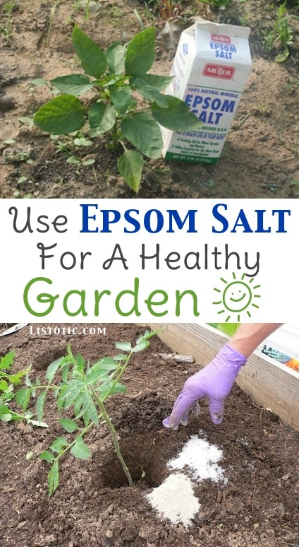 Healthy Garden Tip using epsom salt-- Easy DIY gardening tips and ideas for beginners and beyond! Tips and tricks for your flower or vegetable garden, or for your front or backyard landscaping design. A few garden projects and ideas you can do for cheap! Listotic.com