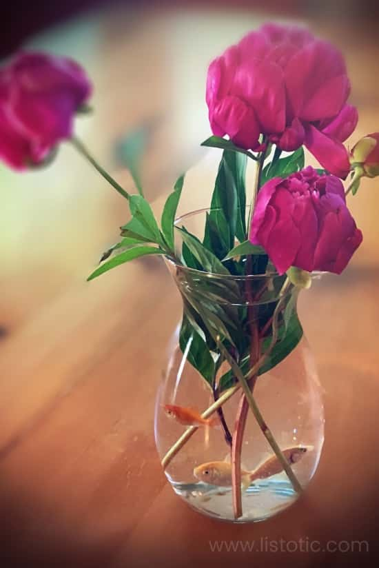 Round glass flower vase holding water, three goldfish and three large pink peony blooms on a rustic dining room table.