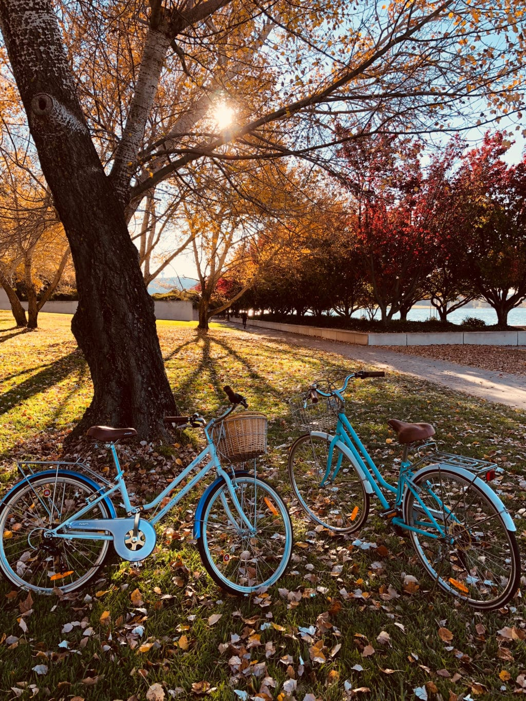 Two bright blue bikes sitting in a park next to a tree with full autumn colors. - a Thanksgiving treat!