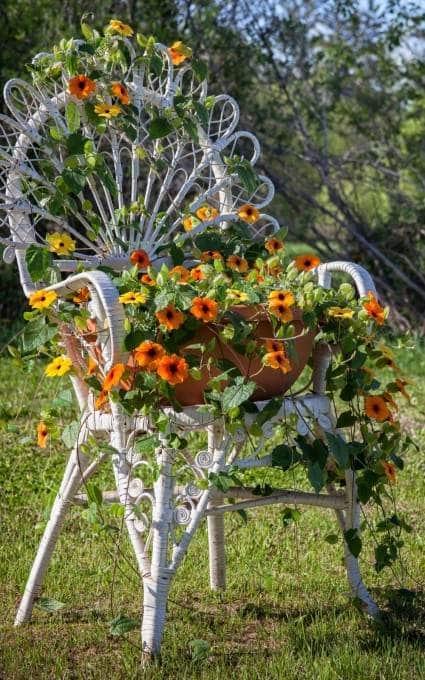 orange black eyed Susan vine fairy garden flowers growing around a chair