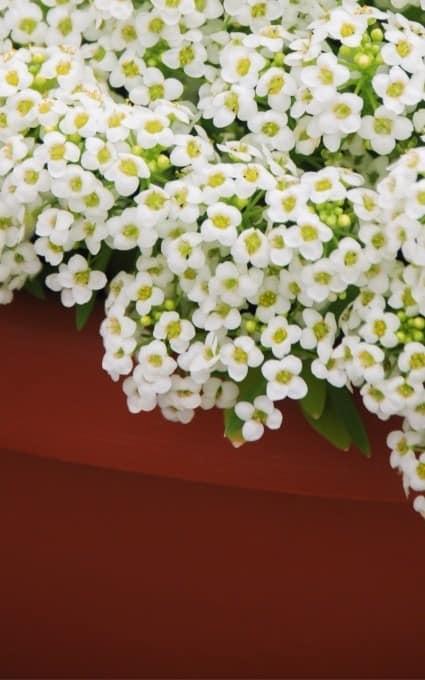 white Alyssum hardy annual flowers fairy garden plants