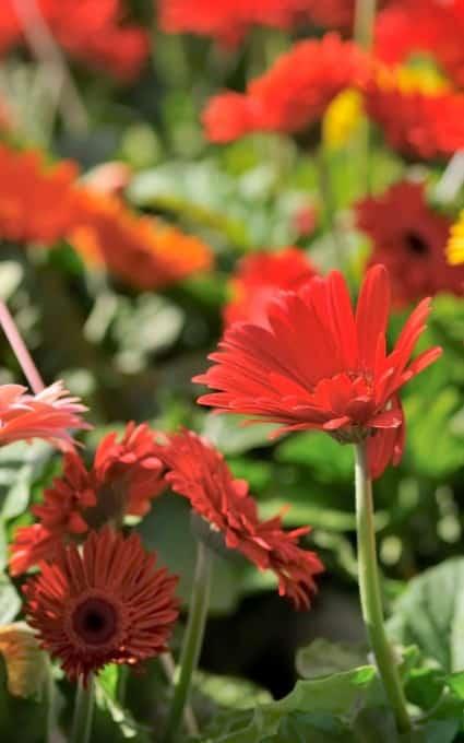 Gerber daisy hardy annual flowers