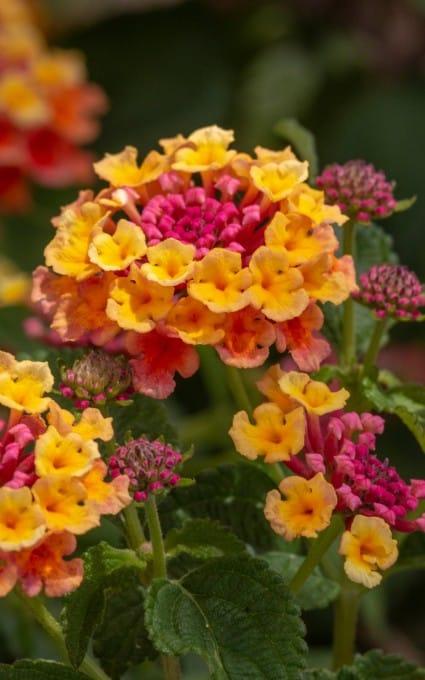 pink and yellow lantana flower
