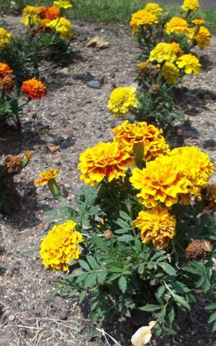 orange marigold hardy annual flowers
