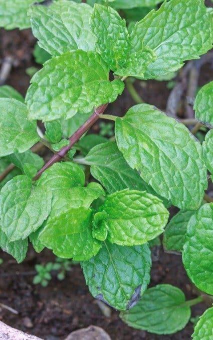 mint garden herb plant