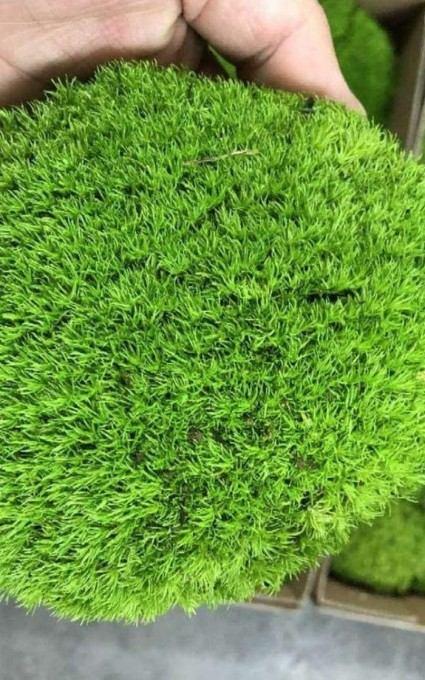 pillow moss fairy garden plants