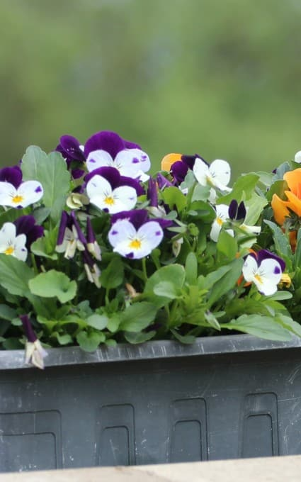 pansy hardy annual flowers
