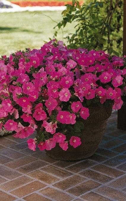 petunia hardy annual flowers