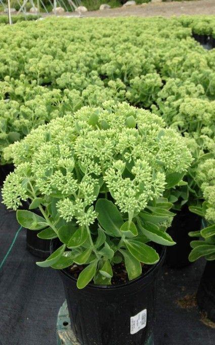 sedum plant Plants for miniature garden